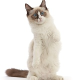 Ragdoll kitten, 4 months old, standing up on haunches