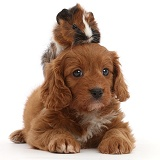 Cavapoo puppy and matching Guinea pig
